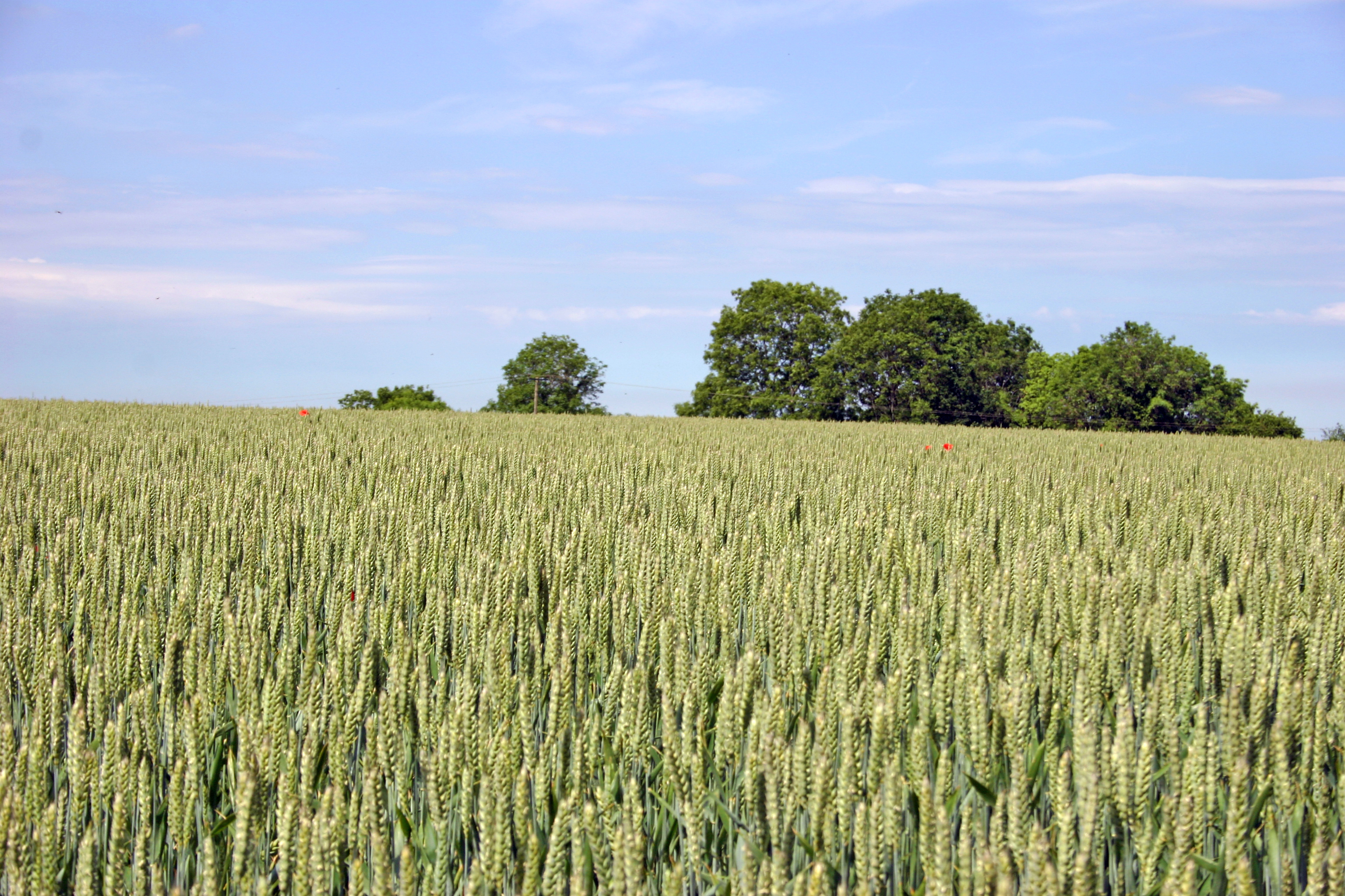 Wheat Field on the Cotswold Escarpment
